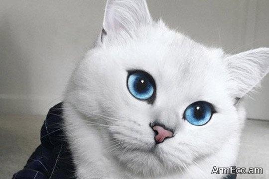 Երկնագույն աչքերով կատուն համացանցի աստղ է դարձել